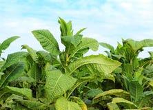 Tabaczne rośliny Fotografia Stock