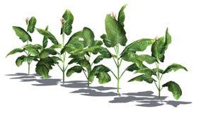 Tabaczne rośliny Zdjęcia Royalty Free