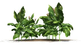 Tabaczne rośliny Zdjęcie Stock