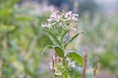 Tabaczni kwiatów pola Fotografia Royalty Free