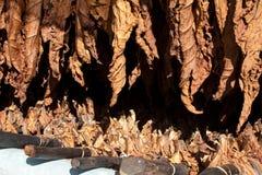 Tabaczni suszarniczy liść Zdjęcie Royalty Free