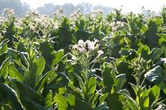 Tabaczny kwiat Zdjęcie Royalty Free