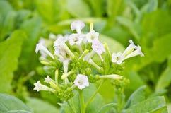 Tabaczny kwiat Obrazy Royalty Free