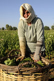 tabaczny tradycyjny pracownik zdjęcia royalty free