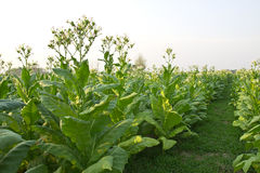 Tabacznych poly roślina Thailand Obrazy Royalty Free