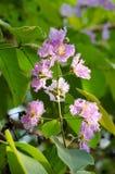 Tabaek é grupos bonitos de flores cor-de-rosa Fotografia de Stock Royalty Free