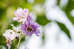 Tabaek é grupos bonitos de flores cor-de-rosa Imagem de Stock