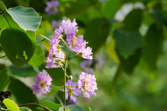 Tabaek é grupos bonitos de flores cor-de-rosa Foto de Stock