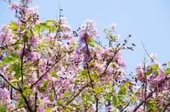Tabaek é grupos bonitos de flores cor-de-rosa Imagens de Stock
