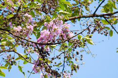 Tabaek é grupos bonitos de flores cor-de-rosa Fotos de Stock Royalty Free