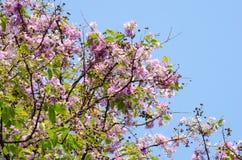 Tabaek é grupos bonitos de flores cor-de-rosa Foto de Stock Royalty Free