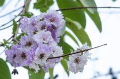 Tabaek é grupos bonitos de flores cor-de-rosa Imagem de Stock Royalty Free