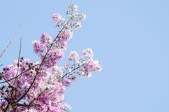 Tabaek é grupos bonitos de flores cor-de-rosa Imagens de Stock Royalty Free
