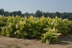 Tabak bereit zu schneiden Lizenzfreie Stockfotografie