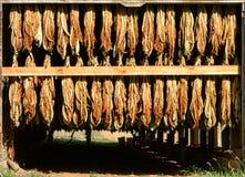Tabak-Blätter, die in einer ländlichen Scheune hängen und trocknen Stockbild