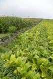 Tabak in de Azoren stock foto