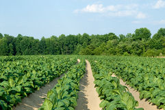 Tabak-Feld Stockfoto