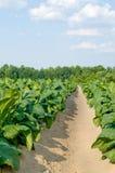 Tabak-Feld Stockfotos