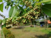Tabak-Frucht, die Ausbreitung des Naturholzes stockbilder