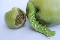 Tabak hornworm Larve Stockfotos