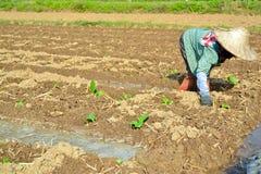 Tabakanlage im Bauernhof von Thailand Lizenzfreies Stockbild