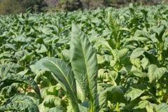 Tabakbauernhof am Morgen auf Bergabhang Stockbild