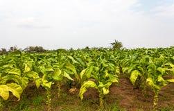 Tabakbauernhof in Thailand lizenzfreie stockfotos