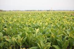 Tabakfeld lizenzfreie stockfotografie