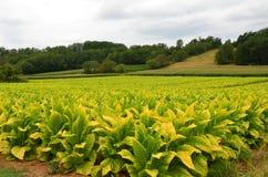 Tabakfeld in Dordogne, Frankreich stockfotografie