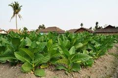Tabakfeld in einem Dorf Lizenzfreies Stockbild