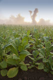 Tabakfeld in Kuba stockfoto