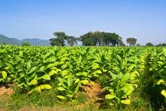 Tabakfeld Thailand lizenzfreies stockfoto