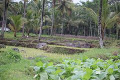 Tabakfelder im probolinggo, Indonesien stockfotografie