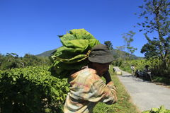 Tabaklandwirte Stockbild