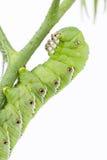 Tabaks hornworm dichte omhooggaand Stock Foto