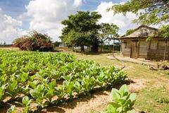 Tabaksaanplanting Stock Foto