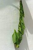 Tabaksbladeren die in de zon drogen Stock Foto