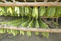 Tabaksbladeren die uit in tabaksschuur in centraal Cuba hangen te drogen stock foto's