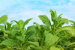 Tabaksinstallaties Royalty-vrije Stock Afbeelding