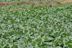 Tabakslandbouwbedrijf Royalty-vrije Stock Foto's