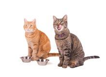 2 tabbies, коричневый цвет и имбирь, сидя рядом с их шарами еды Стоковые Изображения