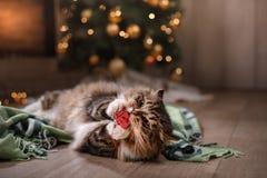 Tabby и счастливый кот Сезон 2017 рождества, Новый Год, праздники и торжество стоковая фотография