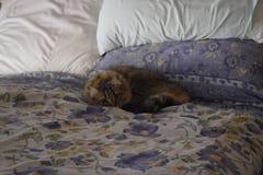 tabby кота кровати лежа стоковое изображение