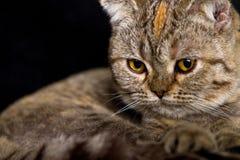 tabby кота Стоковое Фото