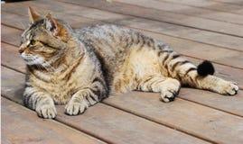 tabby кота Стоковое Изображение