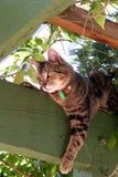 tabby кота Стоковые Изображения