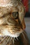 tabby кота Стоковые Изображения RF