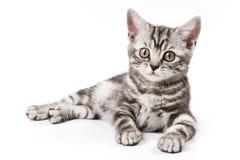 tabby котенка Стоковое Изображение