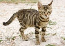 tabby котенка Стоковое Фото