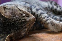 tabby спать кота Стоковое Фото